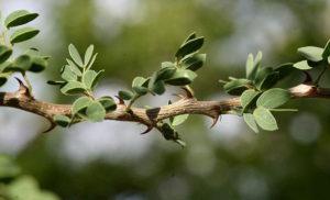 Black Thorn (Acacia mellifera)